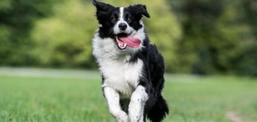 Collie raza de perros para ninos