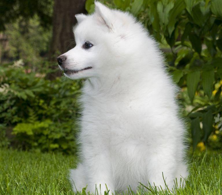 Razas de perros que no crecen pequeños